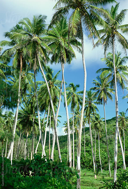 Palm trees, Langkawi, Malaysia by Gavin Hellier for Stocksy United