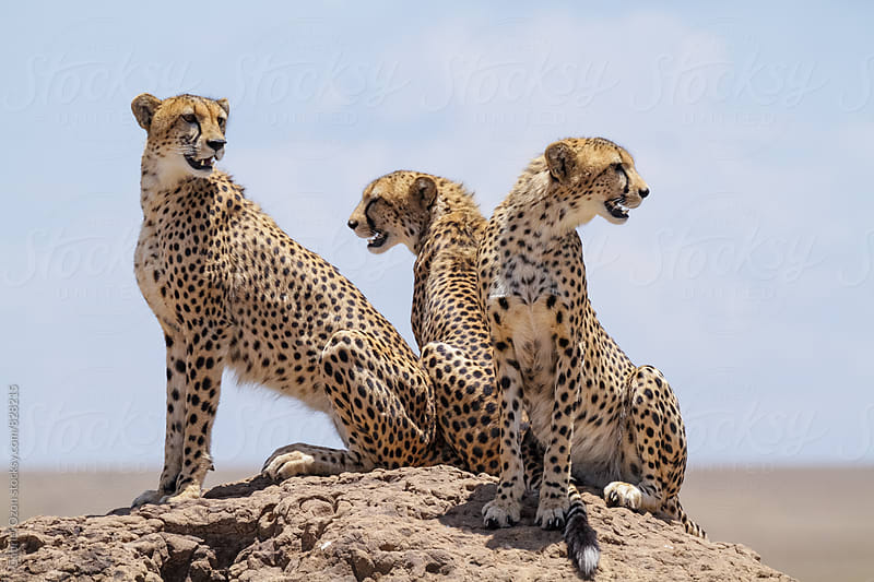 Cheetahs by Gabriel Ozon for Stocksy United