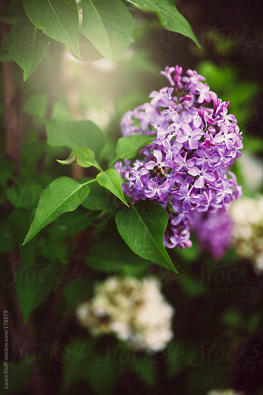 Common Lilac and bee in warm sunlight by Laura Stolfi for Stocksy United