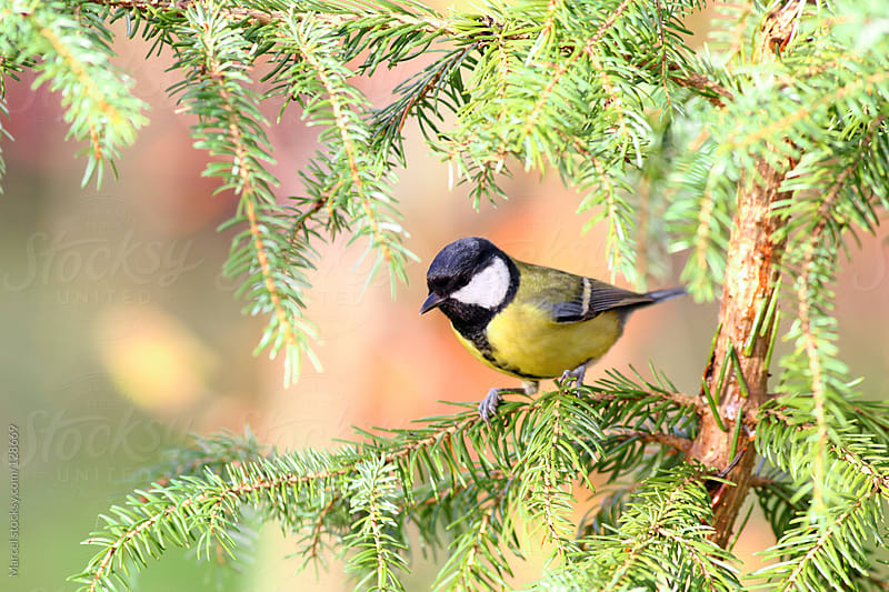 Great tit in Christmas tree by Marcel for Stocksy United