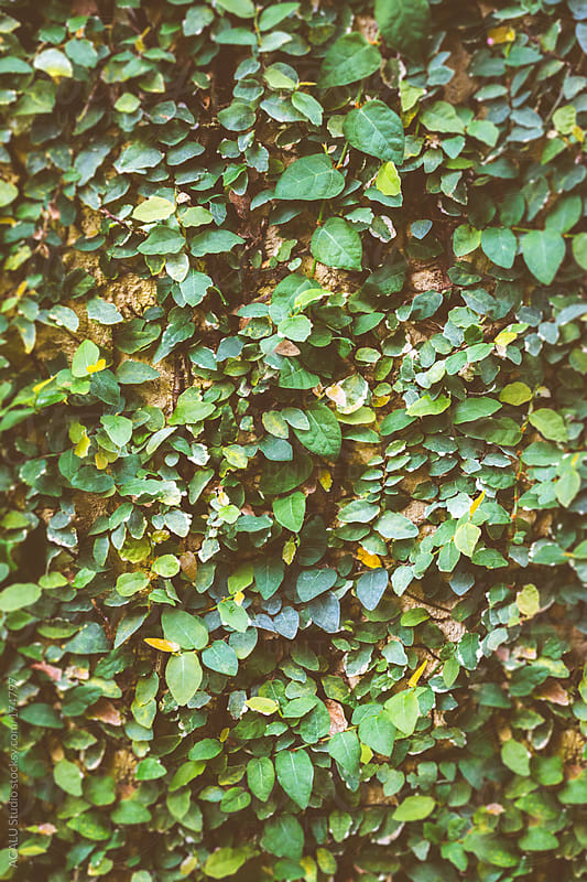 Climbing ivy by ACALU Studio for Stocksy United