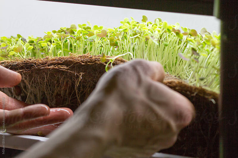 Closeup of man's hands harvesting micro green herbs from a hydroponics system by Mihael Blikshteyn for Stocksy United