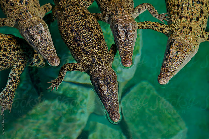 Young Australian saltwater crocodiles huddling together in shallow waters by Jaydene Chapman for Stocksy United