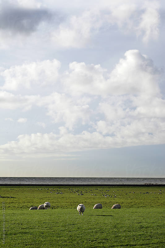 Sheep and geese grazing by Marcel for Stocksy United