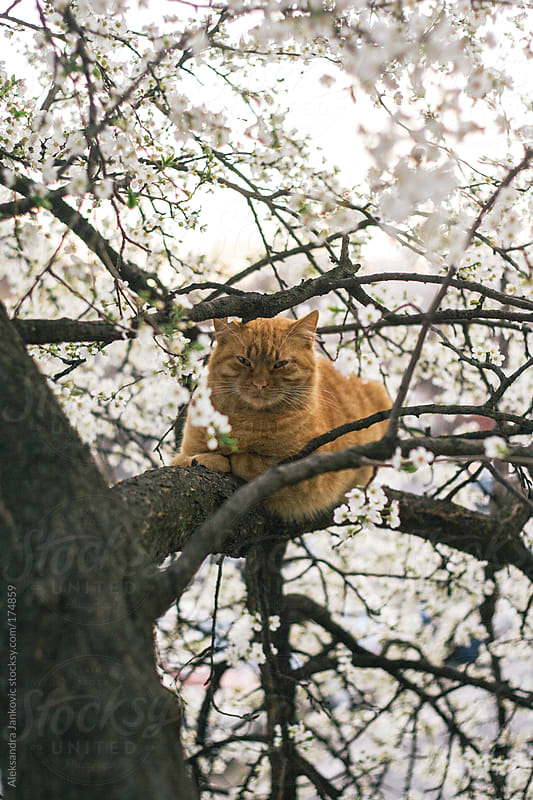 A cat on a blossomed tree branch by Aleksandra Jankovic for Stocksy United