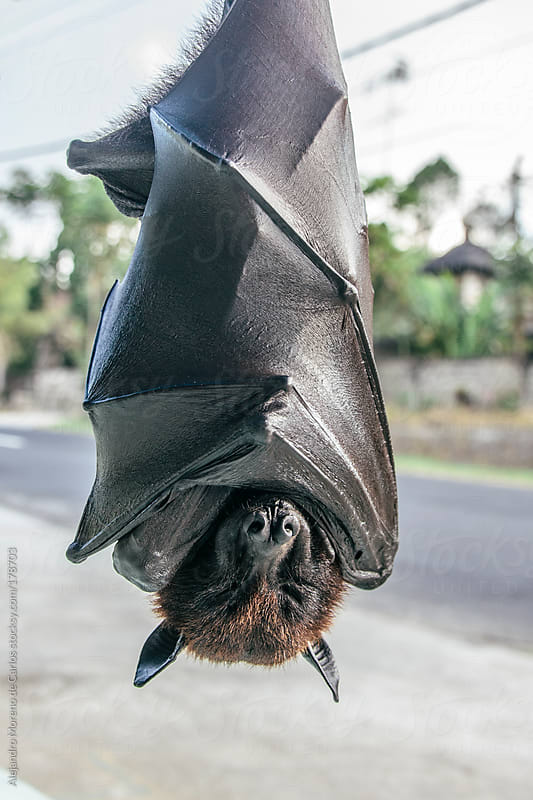 Fruit bat sleeping upside down by Alejandro Moreno de Carlos for Stocksy United