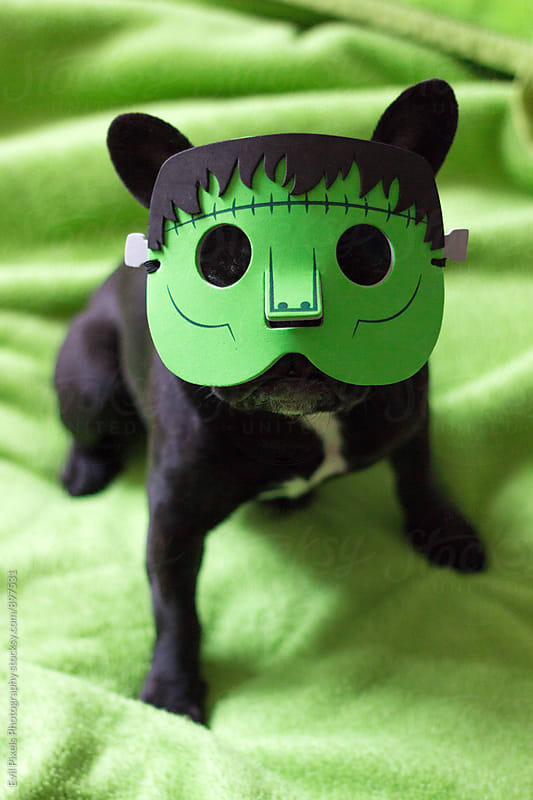 Little french bulldog with frankenstein halloween mask by Evil Pixels Photography for Stocksy United