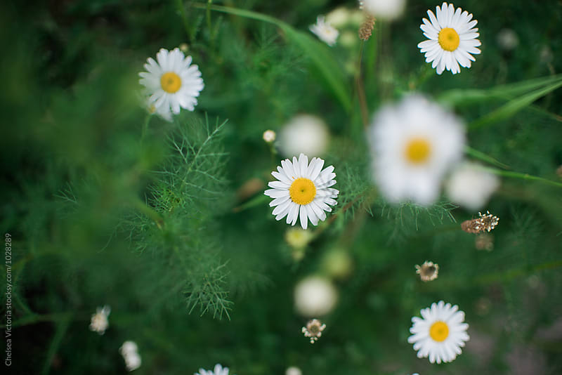 Daisies growing in a garden by Chelsea Victoria for Stocksy United