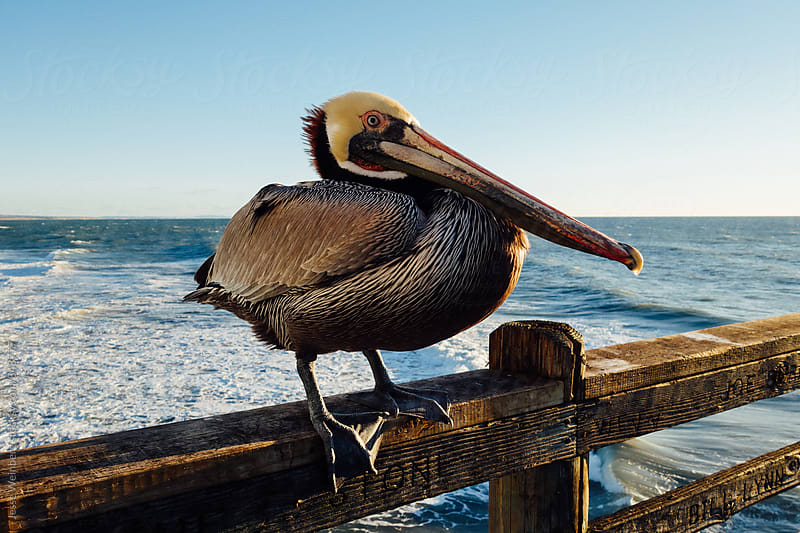 Pelican  by Jesse Weinberg for Stocksy United