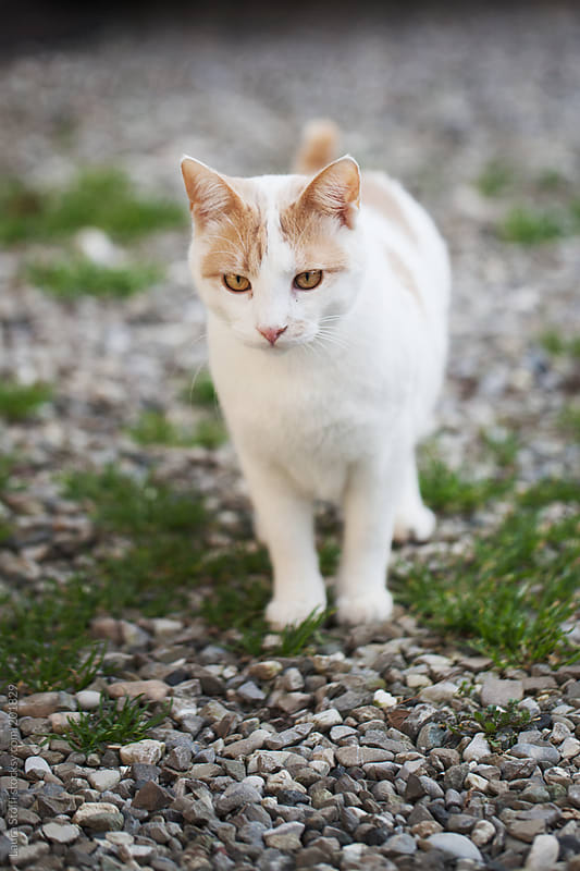 Handsome young cat stands in garden and stares at something by Laura Stolfi for Stocksy United