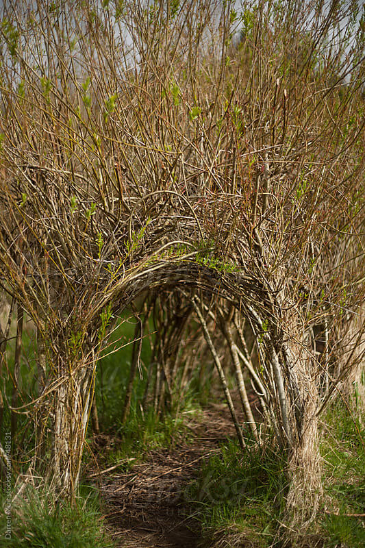 A tunnel made from young tree's by Darren Muir for Stocksy United