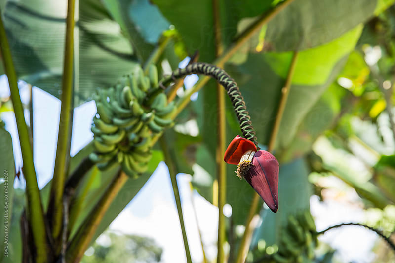 Beautiful red banana flower by Jovo Jovanovic for Stocksy United