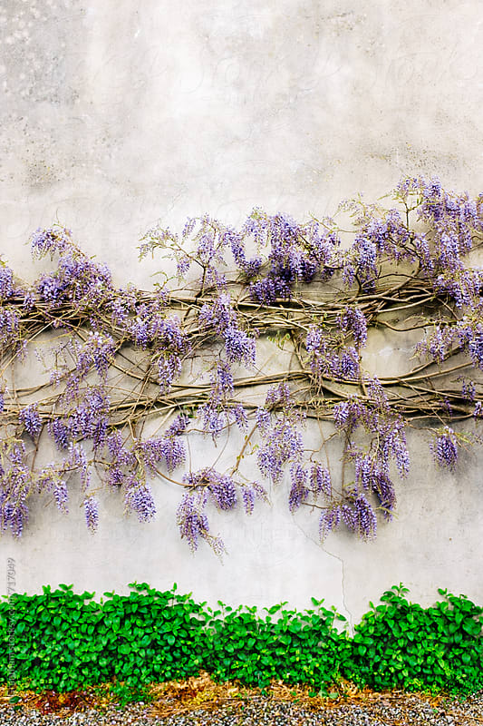 Wisteria growing along a wall by Jen Grantham for Stocksy United