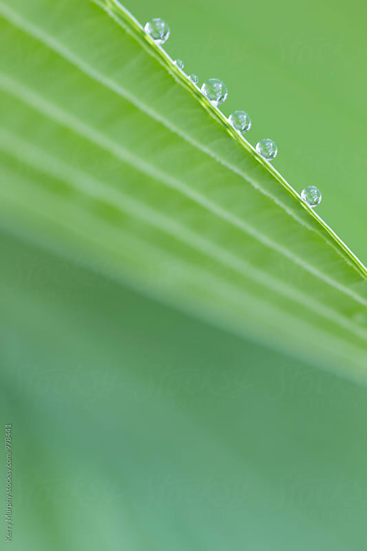Macro of rain drops on hosta leaf by Kerry Murphy for Stocksy United