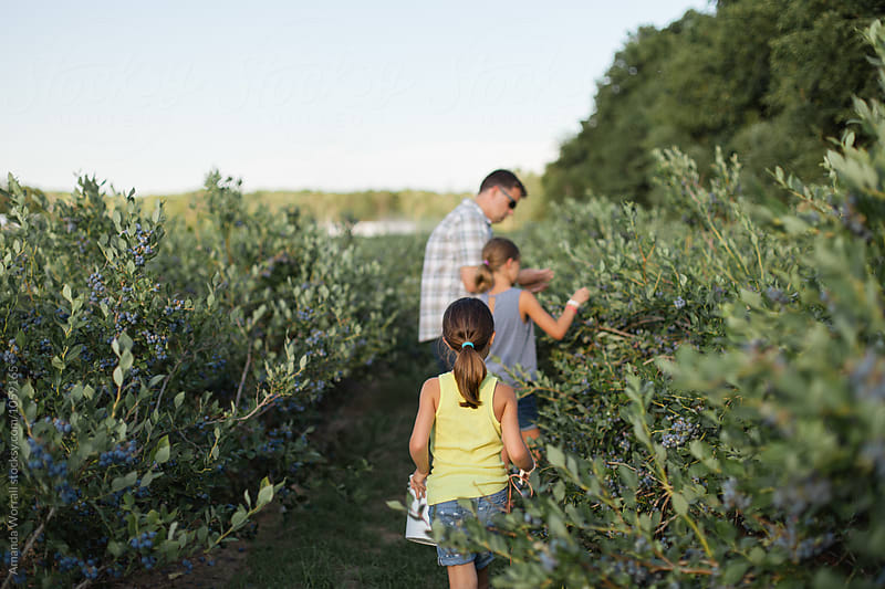 A father and two daughters pick blueberries on a farm by Amanda Worrall for Stocksy United