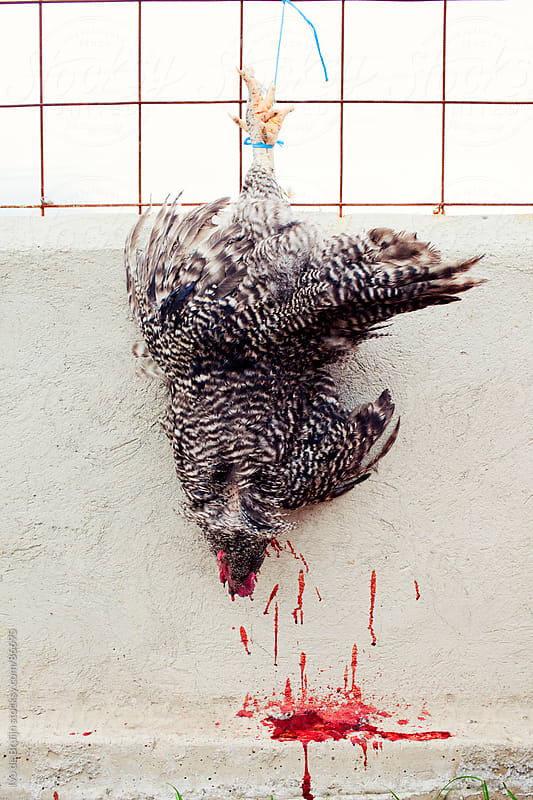 A death chicken hanging on a fence with blood dripping out by Ivo de Bruijn for Stocksy United