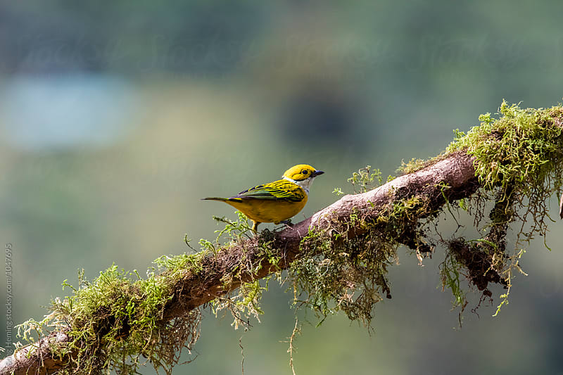 A Silver-throated Tanager bird standing on the branch with moss by Song Heming for Stocksy United