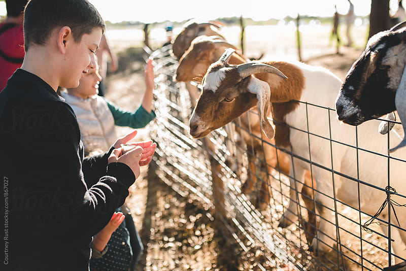 Feeding goats by Courtney Rust for Stocksy United