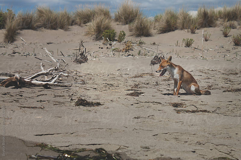 Fox sitting on the beach by Beatrix Boros for Stocksy United