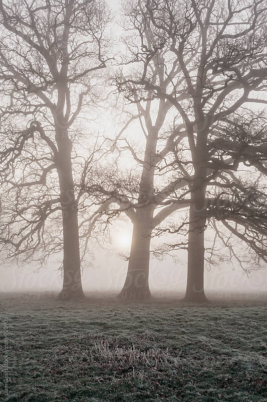Trees in a frost covered field on a foggy morning. Norfolk, UK. by Liam Grant for Stocksy United