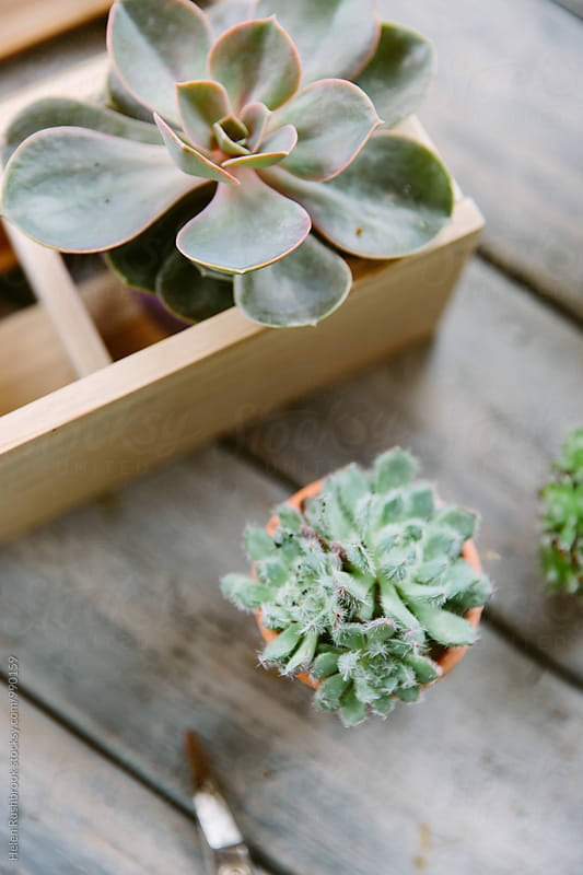 Succulent plants by Helen Rushbrook for Stocksy United