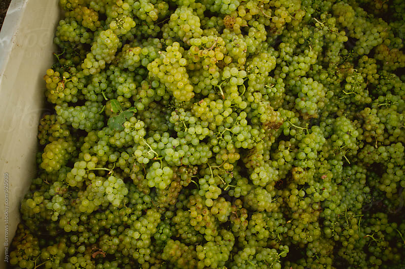 Chardonnay Grapes by Jayme Burrows for Stocksy United
