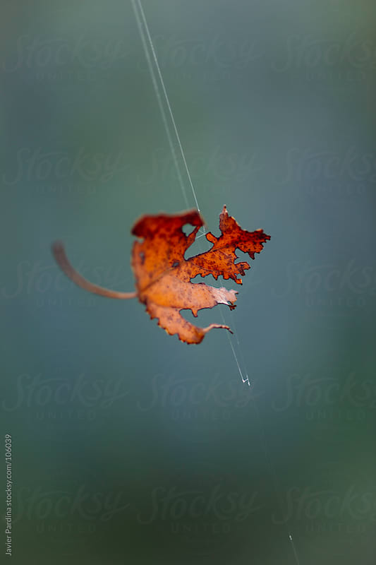 A leaf in spider web by Javier Pardina for Stocksy United