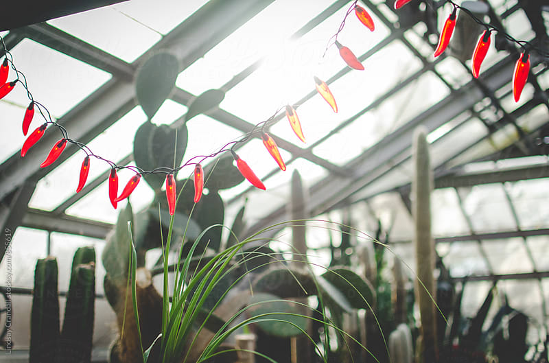 Cacti and string lights inside a conservatory by Lindsay Crandall for Stocksy United