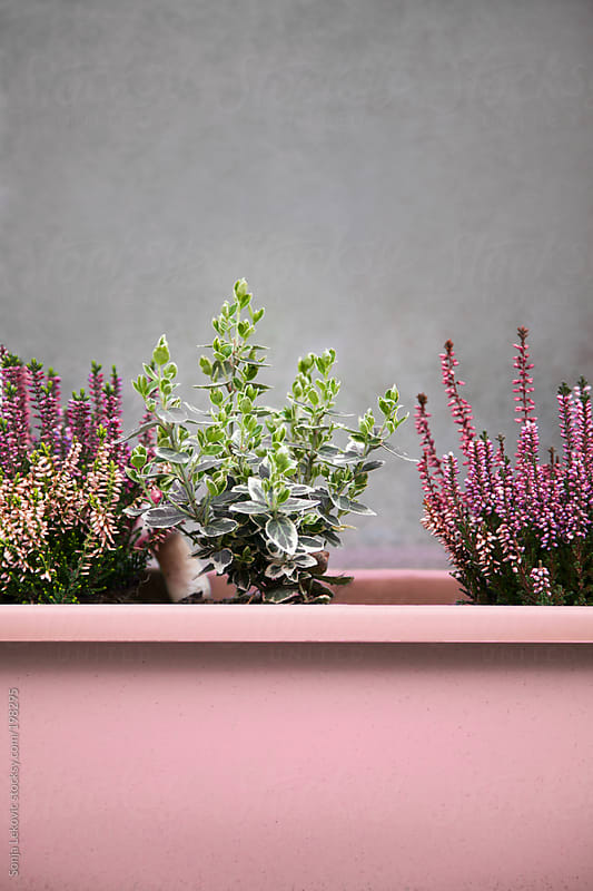 pink pot with flowers and grey wall by Sonja Lekovic for Stocksy United