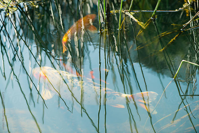 koi carp fish seen under the surface by Helen Yin for Stocksy United