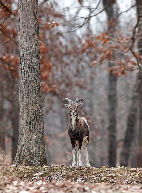 Young Mouflon Sheep in the Woods  by Brandon Alms for Stocksy United