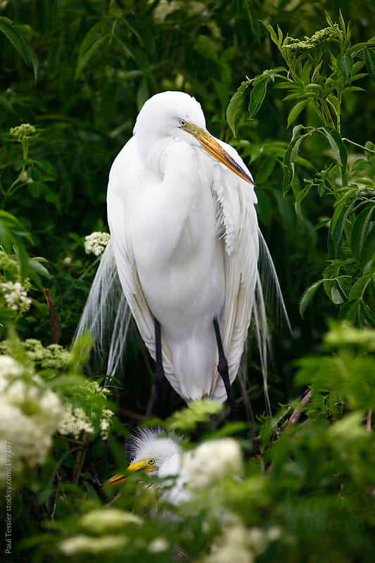 Great Egret with Chick by Paul Tessier for Stocksy United
