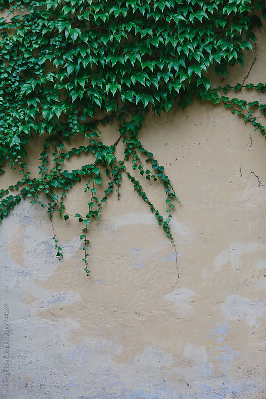 Yellow painted wall covered by ivy by Amir Kaljikovic for Stocksy United
