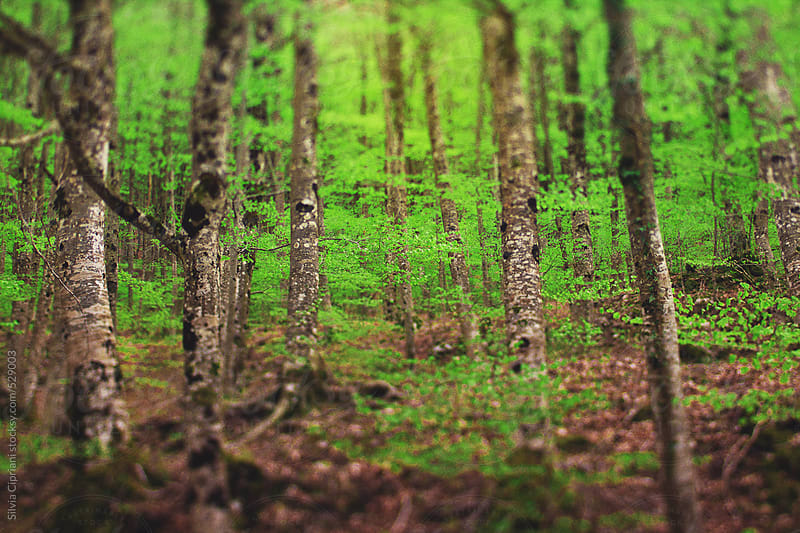 Glimpse of a beech forest by Silvia Cipriani for Stocksy United