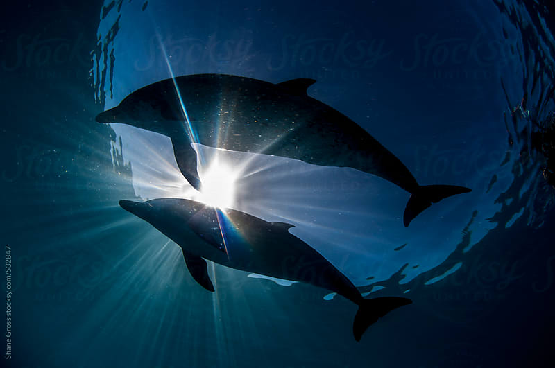 Two Dolphins in Silhouette by Shane Gross for Stocksy United