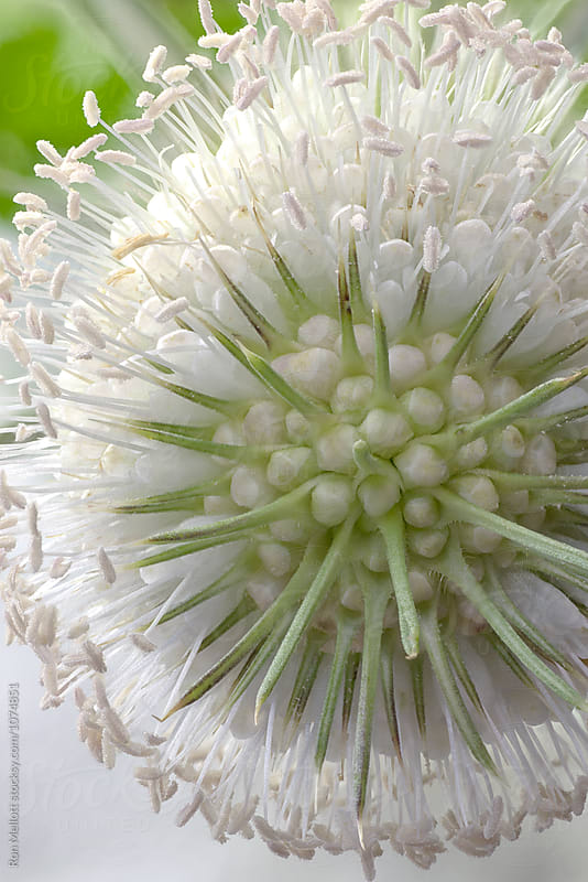 Closeup macrophotograph of the blossom of wild teasel (Dipsacus fullonum)  by Ron Mellott for Stocksy United