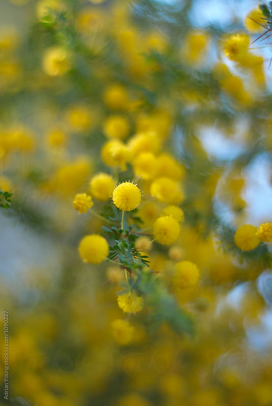 Wattle Flowers by Adrian P Young for Stocksy United