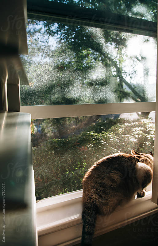 Siamese cat sitting in the window in the morning by Carolyn Lagattuta for Stocksy United
