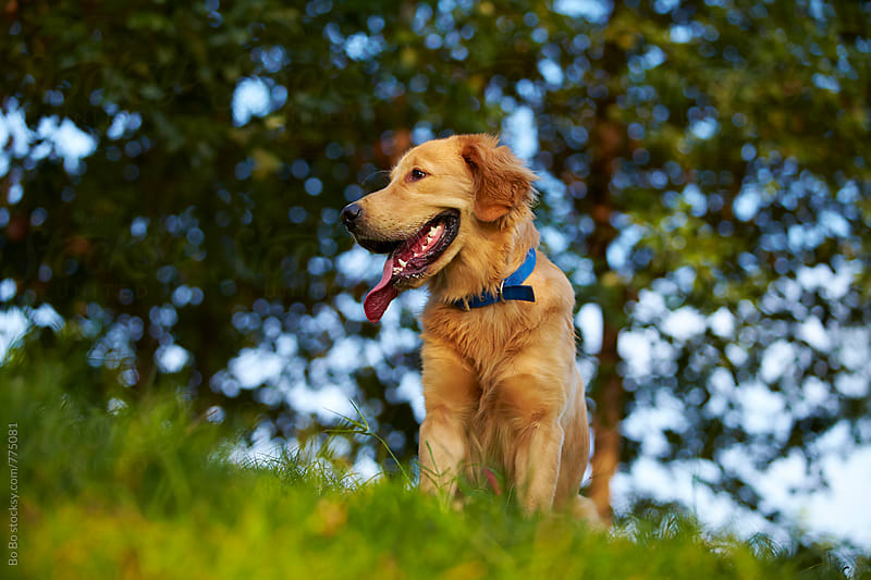 one lovely golden retriever outdoor by Bo Bo for Stocksy United