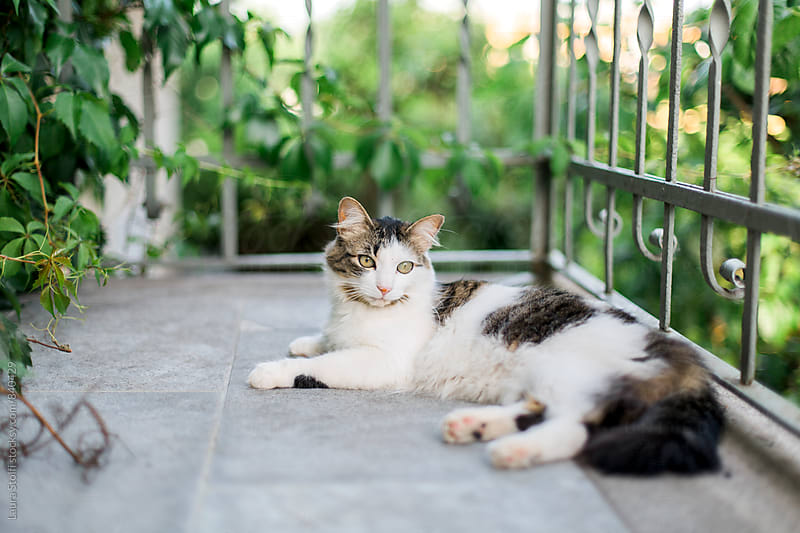 Young siberian cat relaxing on balcony in bright spring day by Laura Stolfi for Stocksy United
