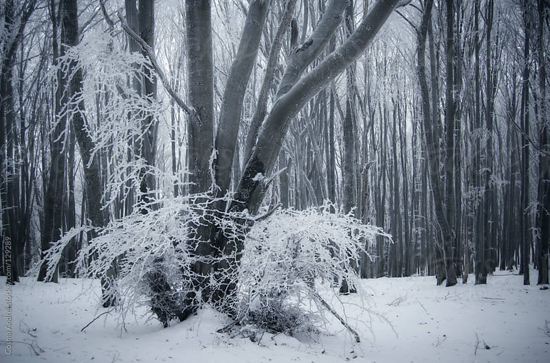 Frozen tree with frost in a forest with snow in winter by Cosma Andrei for Stocksy United