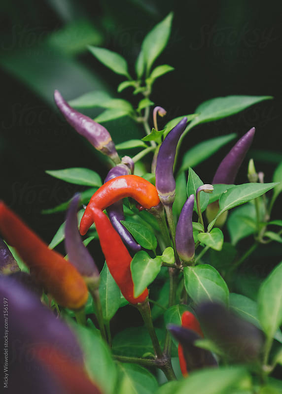 Red and Purple Chillies by Micky Wiswedel for Stocksy United