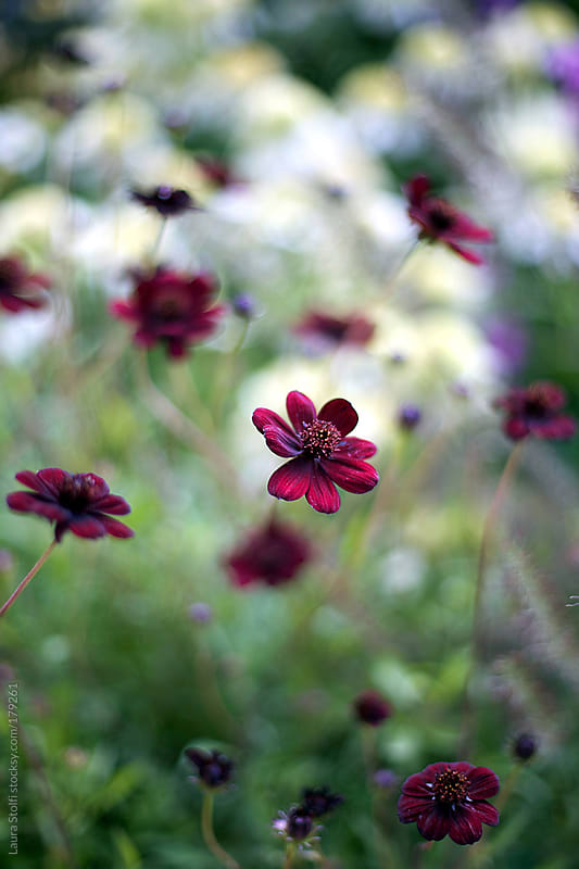 Dark red flowers (chocolate cosmos) in bloom in field by Laura Stolfi for Stocksy United