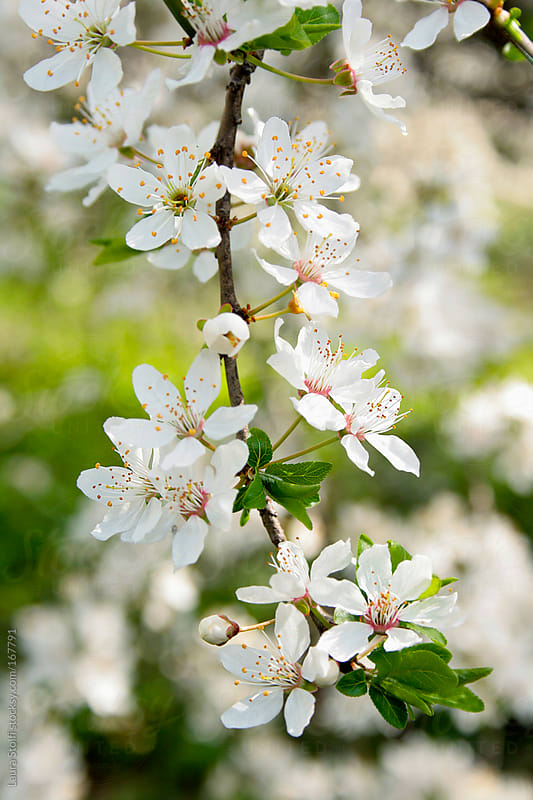 Close up of plum tree branch full of flowers in bloom by Laura Stolfi for Stocksy United