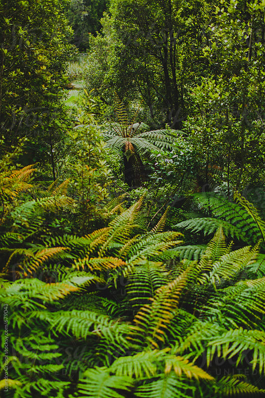 Lush ferns growing in a temperate natural forest  by Leandro Crespi for Stocksy United