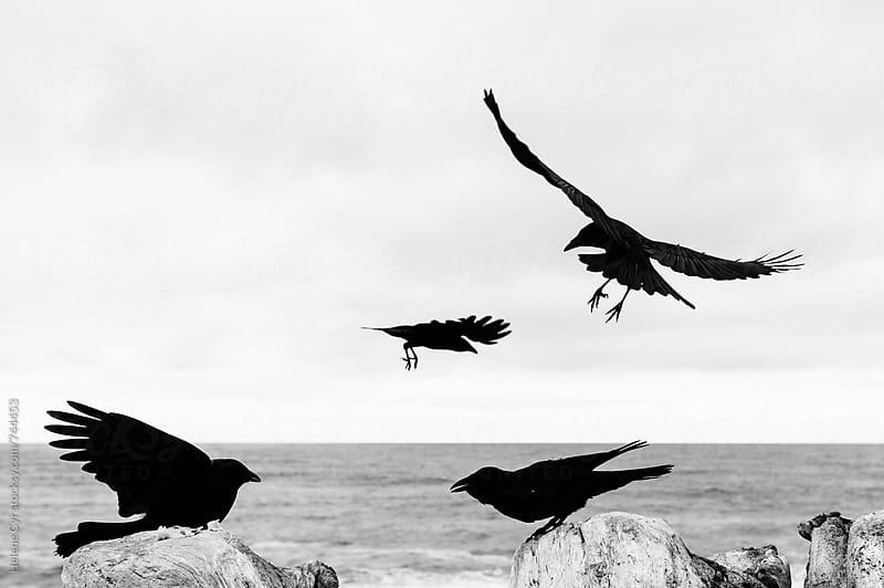 Crows by Helene Cyr for Stocksy United