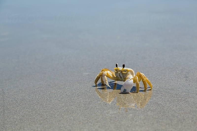 Crab on Beach by Adam Nixon for Stocksy United