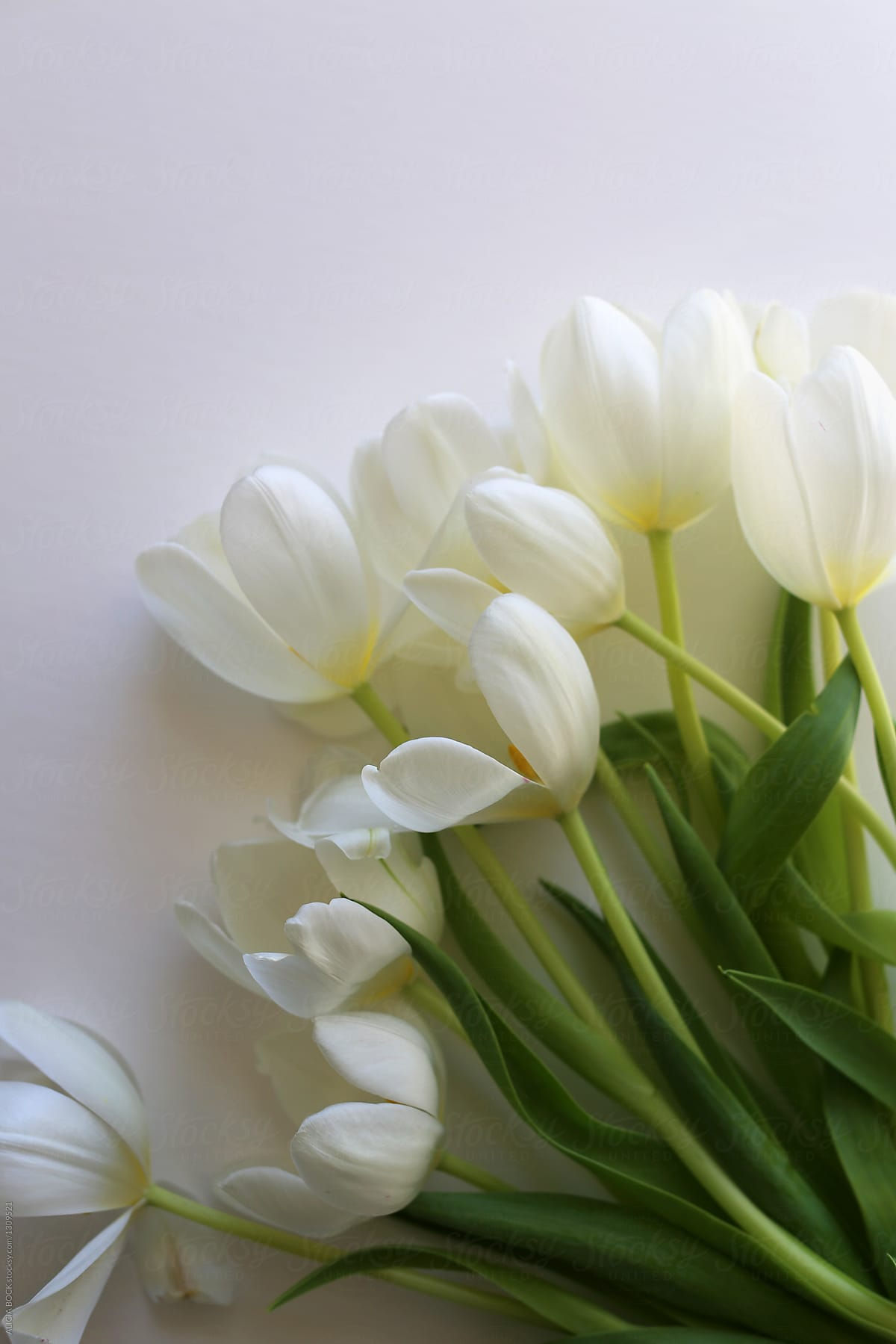 A Collection Of Fresh White Tulip Flowers Stocksy United