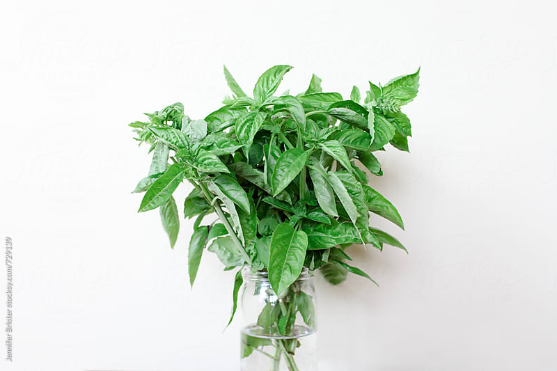 a bunch of basil  by Jennifer Brister for Stocksy United