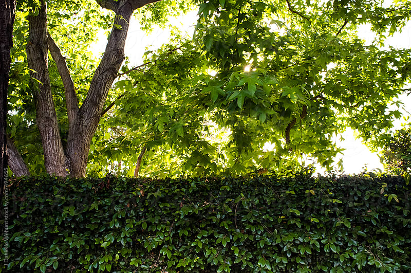 Wall of ivy in front of a lush tree by J Danielle Wehunt for Stocksy United